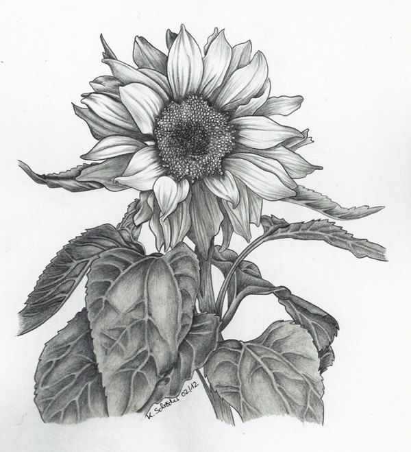 Drawings Of Sunflowers In Pencil Best 25+ Sunflower dra...