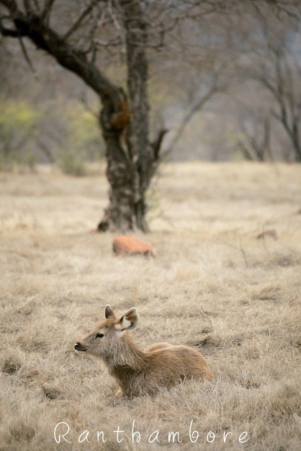 Sambar deer by sandeep kumar on 500px