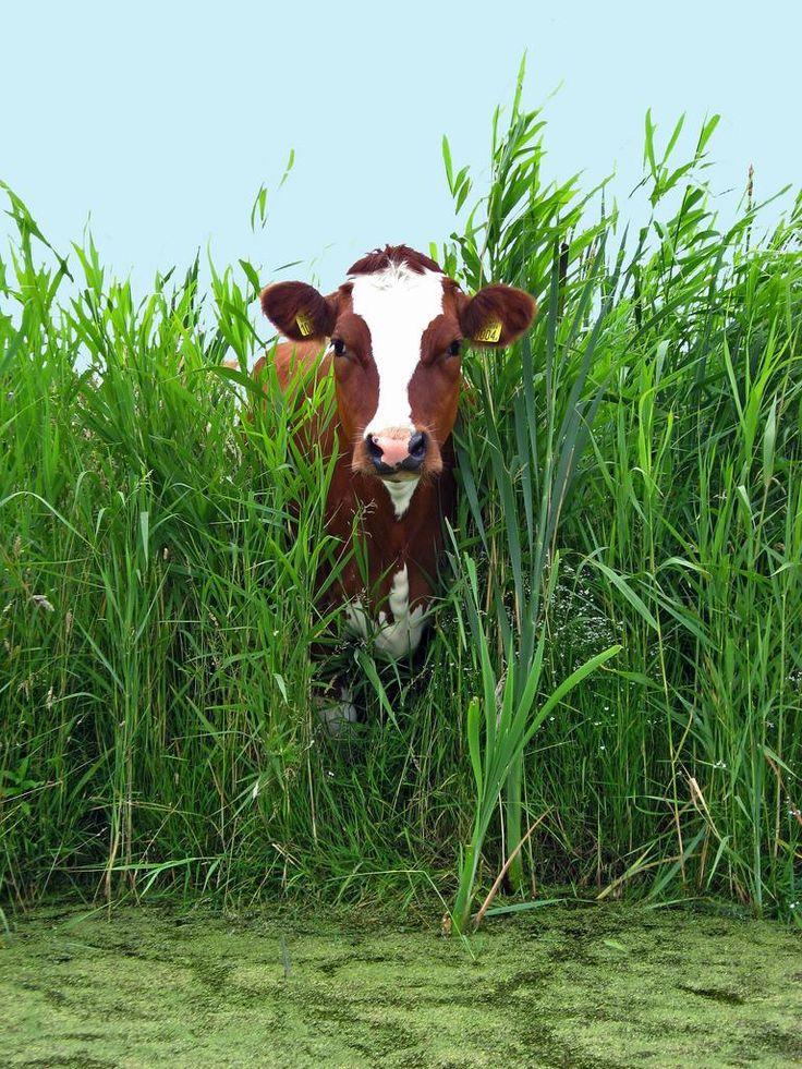 Ayrshire cow!!