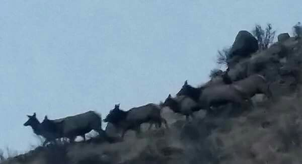 Bobby Valentine captured this herd of female elk crossing in front of him!