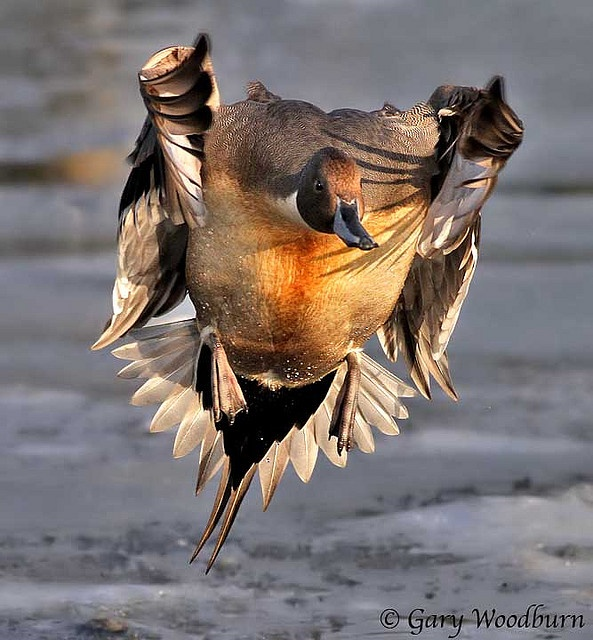 """Duck in flight... is it bad that whenever I see a duck or lamb, all I think (no matter how cute) is """"YUMMMY!!!!"""""""