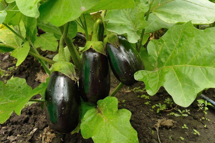 L'aubergine est un légume originaire d'Asie et plus précisément d'Inde et de…