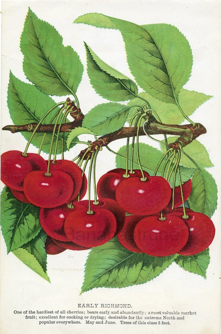"""1890 Chromolithograph of """"Early Richmond"""" cherries."""