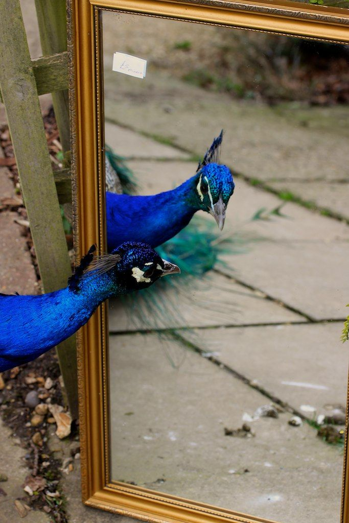 """We who heart peacocks - A male peacock will think it is another peacock in the mirror and display his tail feathers to intimidate the """"other one""""."""