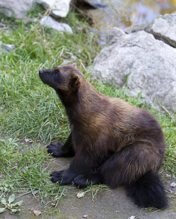 Carcajou - http://www.facebook.com/pages/Pour-la-protection-des-animaux-et-de-la-nature/120423378016370