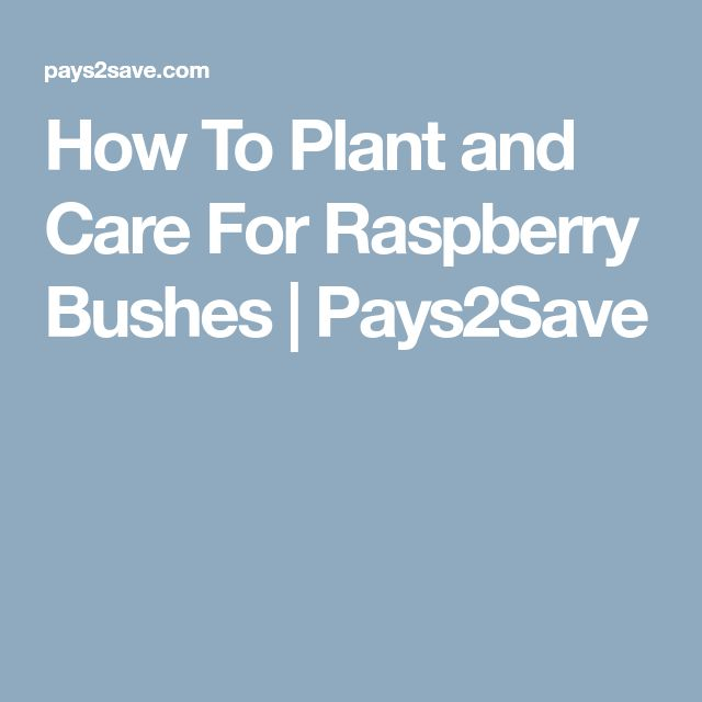 How To Plant and Care For Raspberry Bushes   Pays2Save