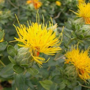 54 best garden thistles images on pinterest botanical drawings the yellow safflower plant has foliage that is thistle like but the prickliness is mightylinksfo