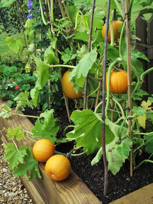 Imma gonna try to grow small sugar pumpkins in a container this year! *squee*