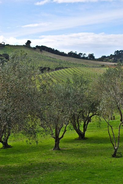 Stonyridge Vineyards - Waiheke Island, New Zealand - A ferry ride to Waiheke Island is a perfect day trip from Auckland for sandy beaches and excellent wine tasting