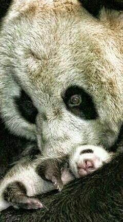 Panda mama picinyével