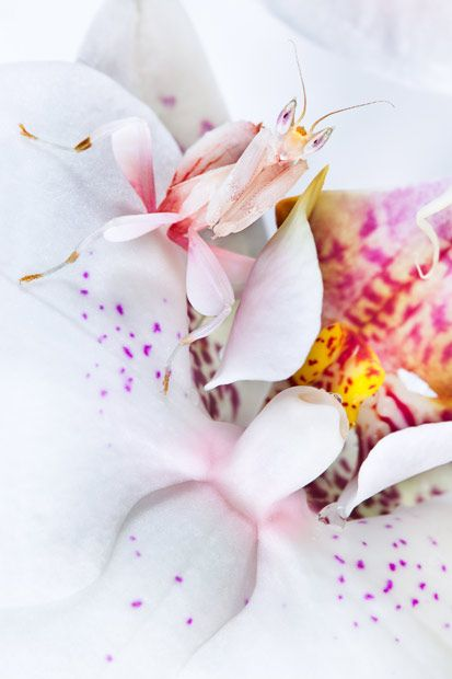 Malaysian Orchid Mantis camouflaged on an orchid