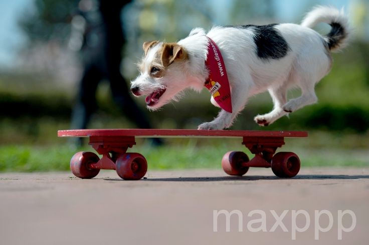 #insolite A Parson Jack Russell Terrier named Jo Jo rides a skateboard during a press conference for the upcoming trade fair 'Hund & Katz' (Dog & Cat) in Dortmund, Germany, 28 April 2015. The fair will run from 08 to 10 May. ©MAJA HITIJ/EPA/MAXPPP - #chien #skate #skateboard #allemagne #animal #picoftheday #bestoftheday #24heuresPhotos