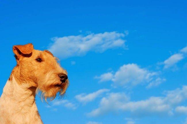 Psy rasy Foksterier szorstkowłosy