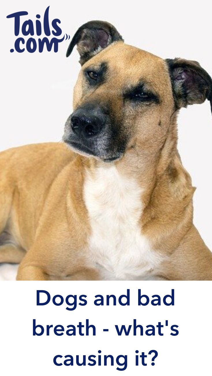 , Small Dog Breeds No Tail, Carles Pen, Carles Pen