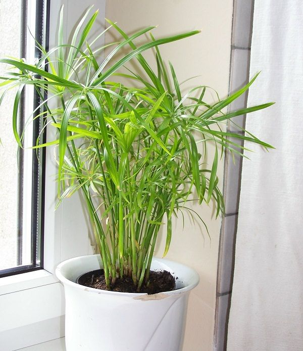 Umbrella papyrus (Palm): One of the plants that grow without sunlight and you can grow them indoors.