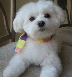 """examples #of #puppy #haircuts #for #a #maltese #-    – Malteser """"Bilder"""""""