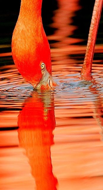 Orange Flamingo in the light.  Repinned by: http://dansnow.com                                                                                                                                                      More