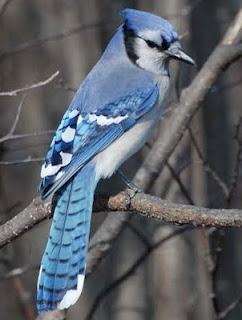 A blue jay!