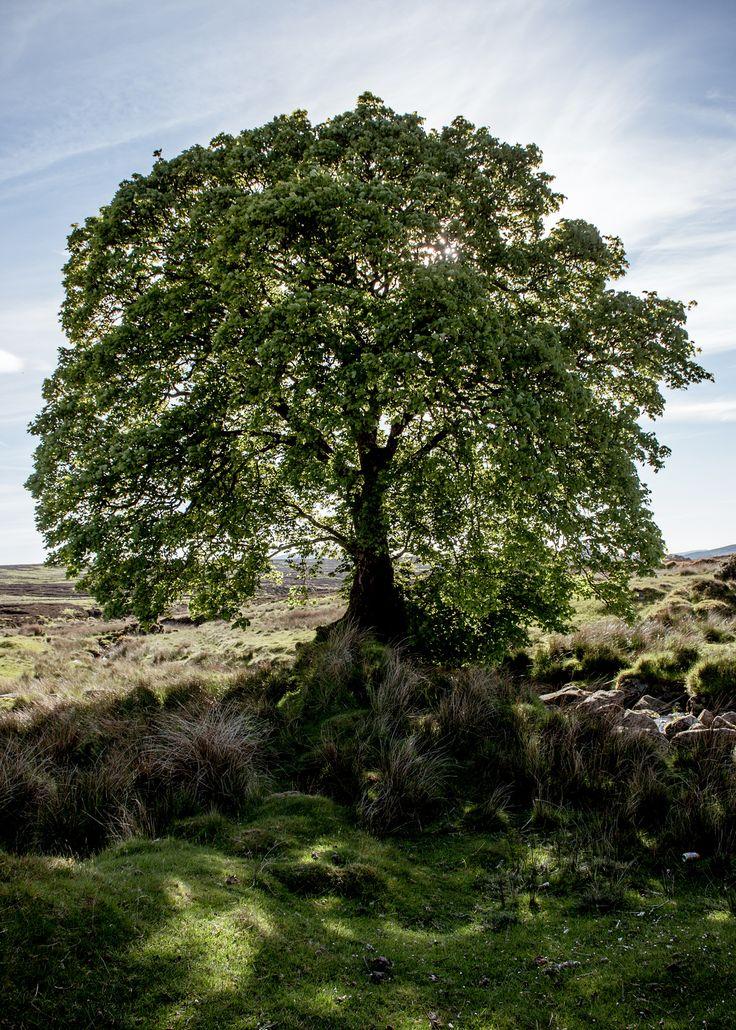 Big old Sally Gap Tree | by shaymurphy