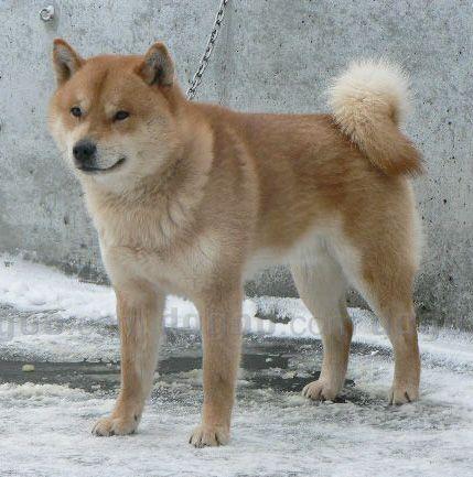 Hokkaido Inu Dog Pictures 681 Japanese Breed Cyra Stuff