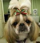 Shih Tzu Haircuts - Bing Images