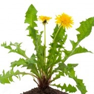 Dandelion Greens Recipes: How About Some Weeds In Your Green Smoothie?