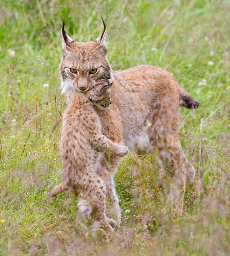 . Photography by @ (Cecilie Sonsteby). An Eurasian lynx mother carrying her 8 weeks female cub. #Gaupe #Langedrag #Lynx #LynxCub #kitten #Norway #adorable #wildlife #animal