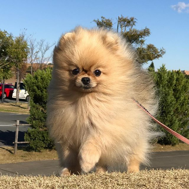17 best ideas about teacup pomeranian puppy on pinterest - Cute pomeranian teacup puppy ...