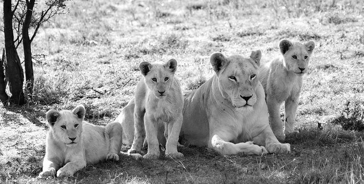 lion mother with her 3 cubs black and white by Barbara Fraatz on www.digitalgallery.co.za