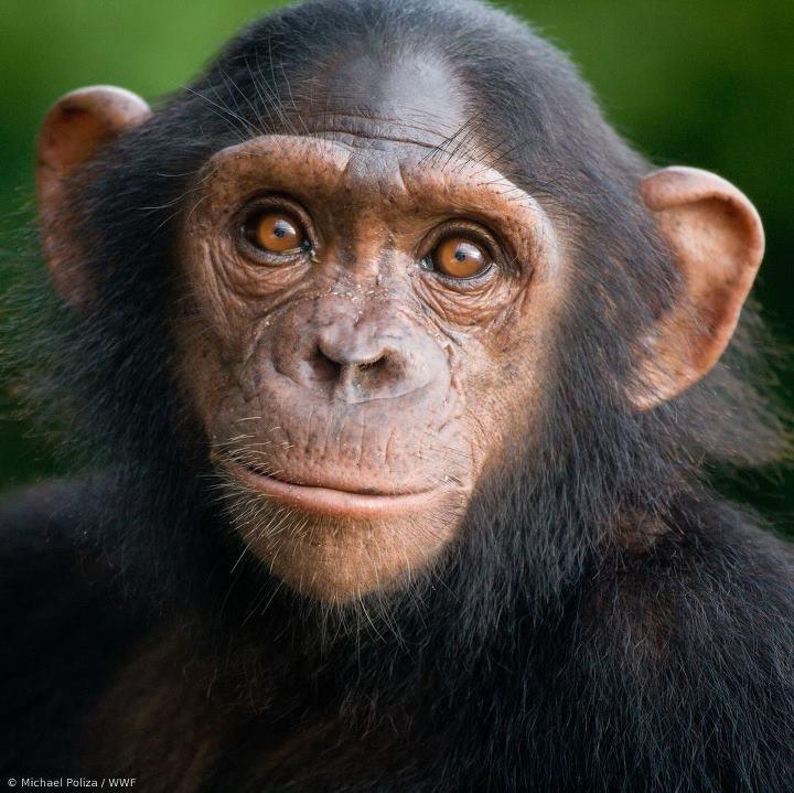"""Der WWF engagiert sich im Kongobecken, um die einzigartigen """"Sumpfschimpansen"""", """"Nüsseknackerschimpansen"""" und Zwergschimpansen zu schützen. Diese sind durch Wilderei, Brandrodung und illegalen Holzeinschlag bedroht. +++ Spende jetzt 5€ oder mehr und unterstütze unsere Arbeit im Kongo für die Schimpansen! http://bit.ly/WWF_Spende_Schimpansen"""