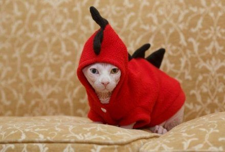 Cool cat looks good in a hood: Odd-eyed Sphynx cat Gina has passion for fashion