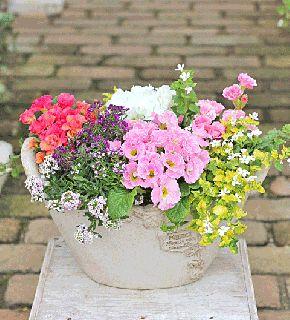花寄せ植え おしゃれ ポリアンサ・クラウディア&アリッサム&バコパ アンティークテラコッタ調バスケット型鉢