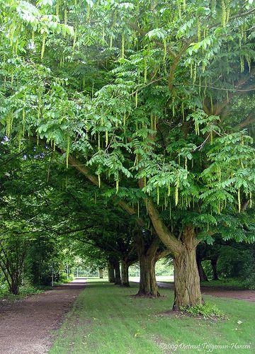 Kaukasisk vingnöt, Pterocarya fraxinifolia | En imponerande krona som verkligen känns som ett tak. Bladen är stora och består av småblad, som rönnblad i jätteformat. Blommorna är samlade i långa limefärgade hängen som sedan bildar vingade fruktsamlingar. Hela trädet ger ett tydligt exotiskt intryck. Mycket voluminöst, 10–15 m högt och rejält brett. Tåligt och lättodlad. Kan odlas i zon 3, men då med viss risk att toppskotten fryser bort på vintern.