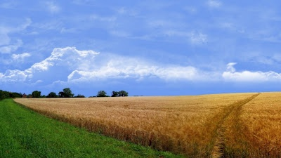 Wheat Field iPhone 5 Nature Wallpapers