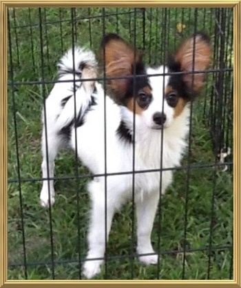 CRAZY MIX! Cavalier King Charles | Papillon | Puppies For Sale