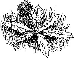 Dandelion plant The dandelion is a healthful, great tasting weed you can eat by Carol Williams