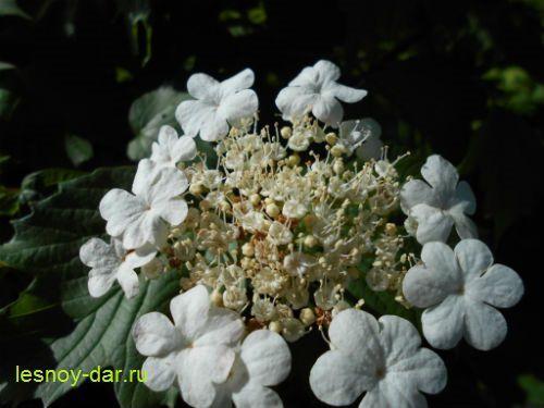 Калина обыкновенная - цветки