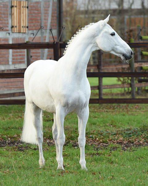 Colman ~ Holsteiner Stallion