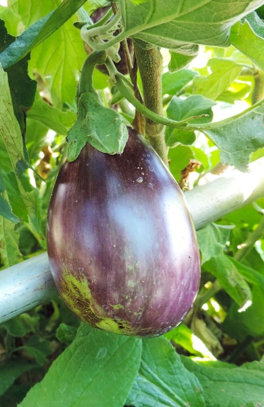 One aubergine plant will bare many fruits. Don't be like me and plant 10 plants... You might never want to eat aubergine again :)