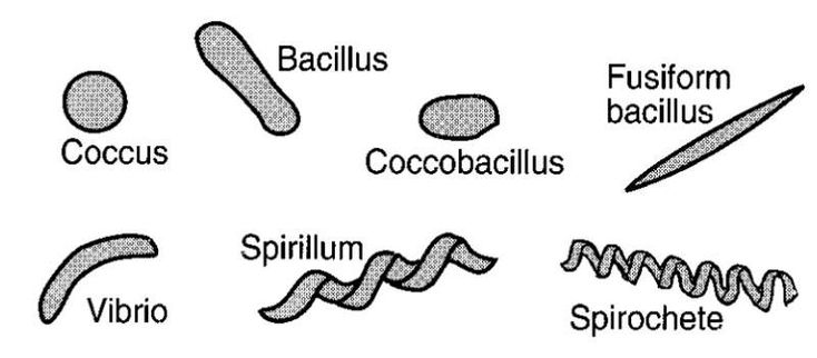 bacteria cells cell wall shapes labeled diagram and on types of structural walls id=85602