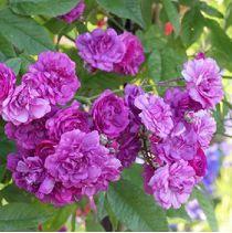 Rose marie viaud rosier ancien grimpant liane haut 500cm non remontant bouquet de violettes - Taille des framboisiers non remontants ...