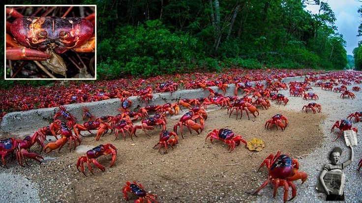 Image result for crabs cuba