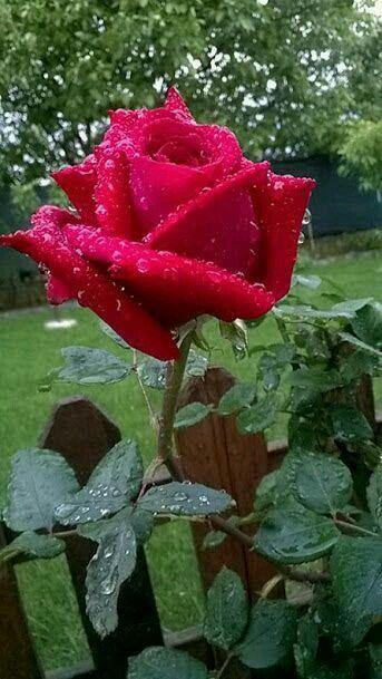 Es per tu estimada Rosita11/11/16     jordi