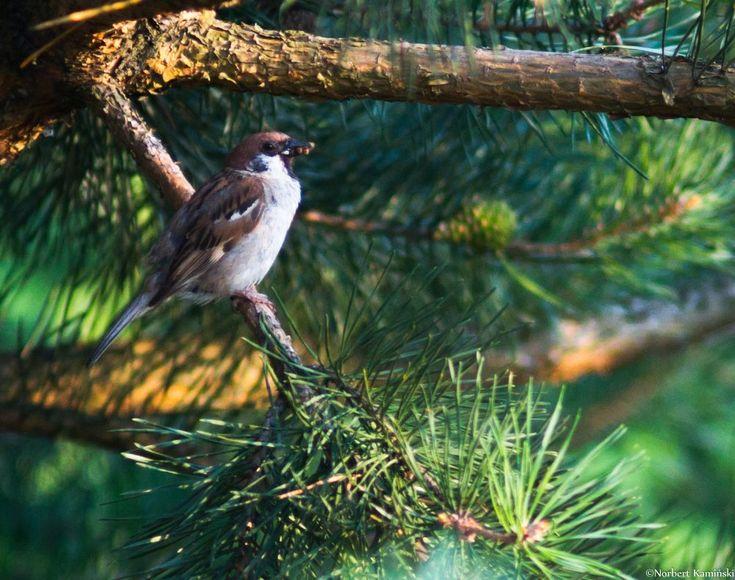 House sparrow by Norbert Kamiński