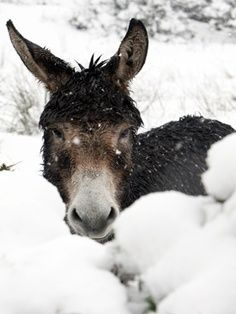 Donkey In Snow Bank