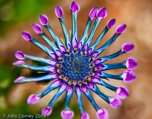 Osteospermum Serenity Lavender   This is what you could call floral fireworks.