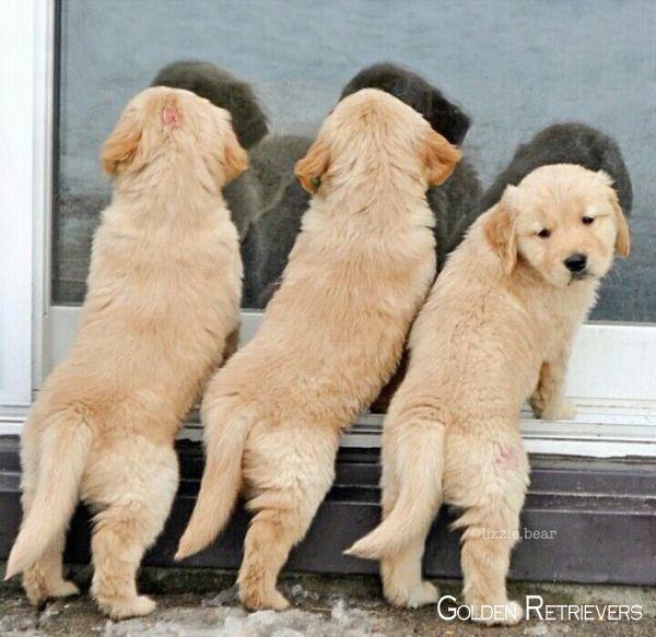 Golden Retrievers Puppy Goldenretrievershirt