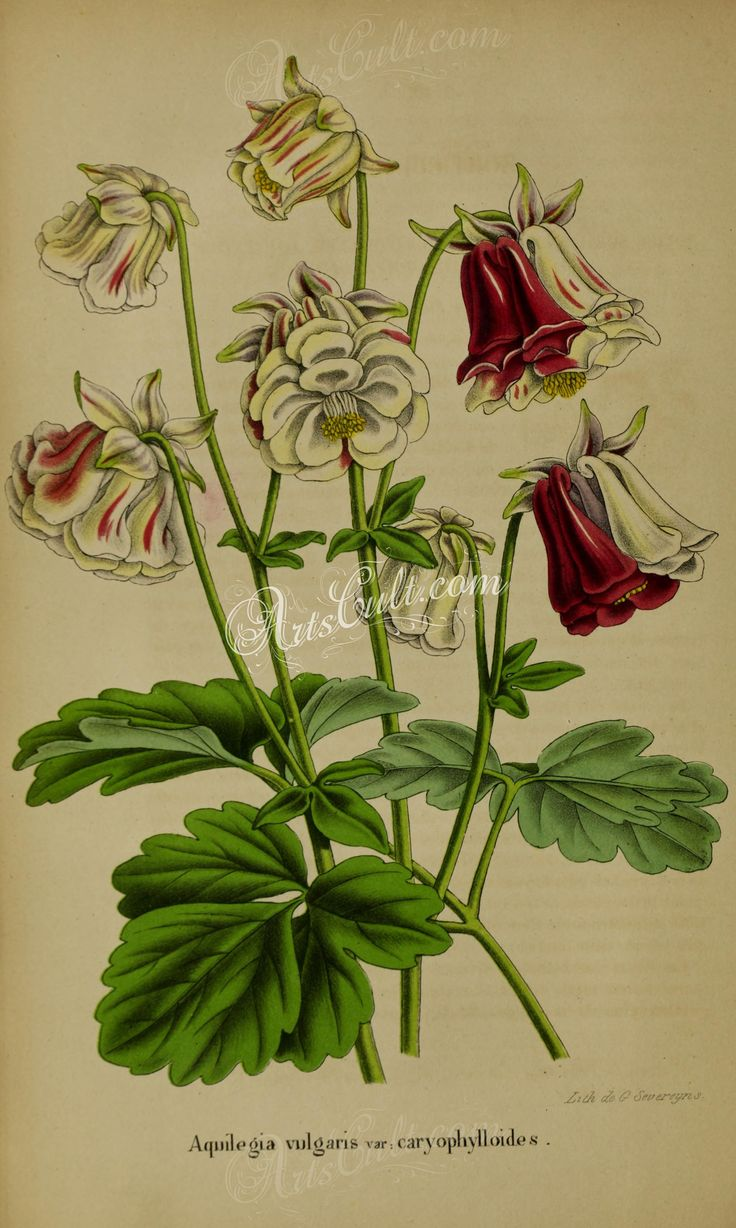 flowers-14528 aquilegia vulgaris  botanical floral botany natural naturalist nature flowers flower beautiful nice flora plants blooming ArtsCult.com Artscult ArtsCult vintage printable public domain 300 dpi commercial use 1800s 1700s 1900s Victorian Edwardian art clipart royalty free digital download picture collection pack paintings scan high qulity illustration old books pages supplies collage wall decoration ornaments Graphic engrav