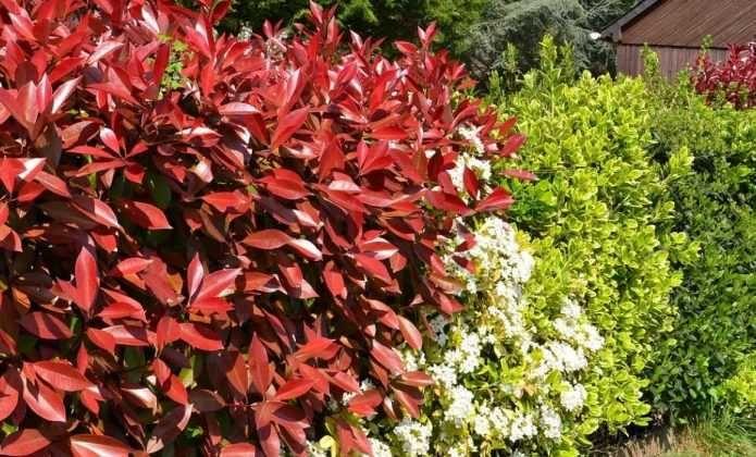 Haie à croissance rapide : 10 arbres et arbustes qui poussent vite