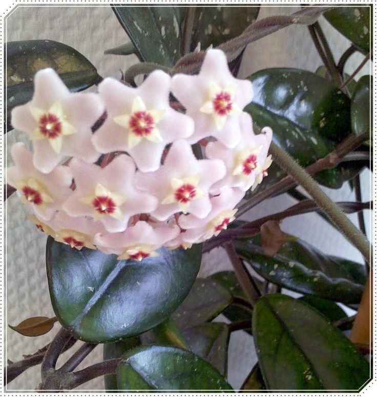 Porzellanblume Hoya carnosa Zimmerpflanze